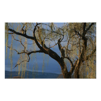 Willow tree after rain poster