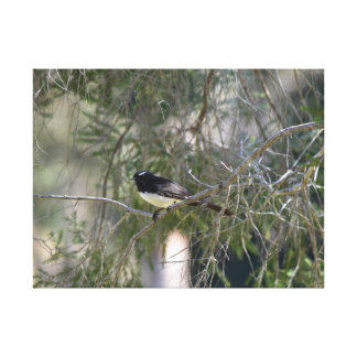 WILLY WAGTAIL IN TREE QUEENSLAND AUSTRALIA CANVAS PRINT