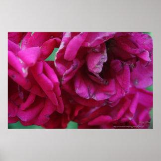 Wilting Rose Cluster Digital Photograph Print