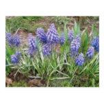 Wind Blown Grape Hyacinths Postcards