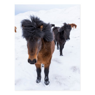 Windblown Icelandic Horse Postcard