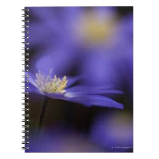 Windflower griego, flor azul resistente de los notebook