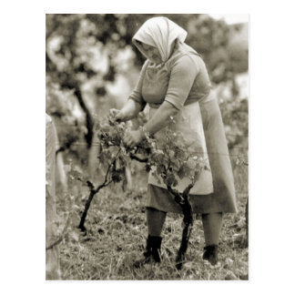 Wine making Wine harvest 2 Post Card