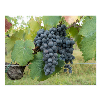 Wine Vineyard - Idaho Wine Commission Postcard