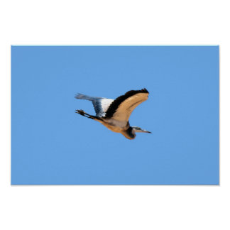 Winged great blue heron bird in flight print