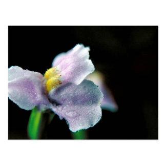 Winged Monkey Flower Postcard