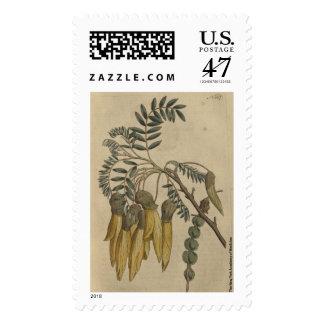 Winged Podded Soph Postage