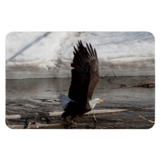 Wings Extended Bald Eagle Rectangular Photo Magnet