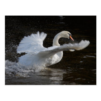 Wings Outstretched Swan Postcard
