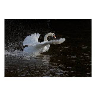 Wings Outstretched Swan Print