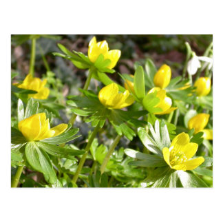 Winter Aconites postcard