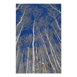 Winter Aspen Trees Poster