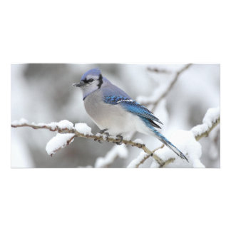 Winter Blue Jay Customized Photo Card