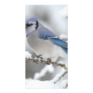Winter Blue Jay Photo Card Template