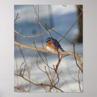 Winter Bluebird Animal Poster