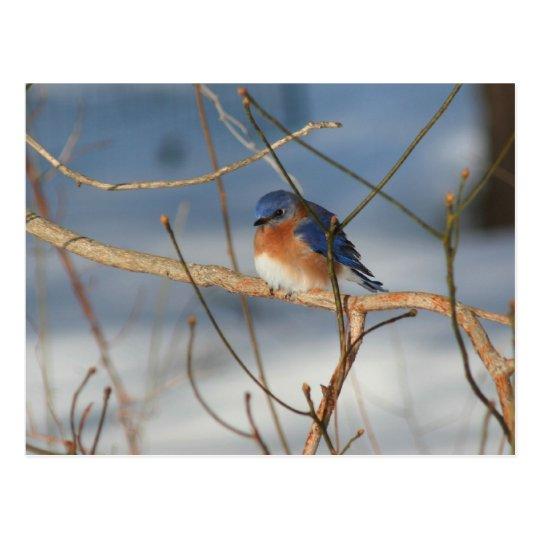 Winter Bluebird Nature Animal Photo Postcard