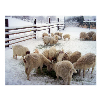 Winter Chow Time For Goats Postcard