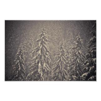 Winter firs photograph