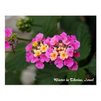 Winter Flowers In Tiberias, Israel Postcard