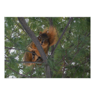 Winter Fox Squirrel In Pine Tree Posters