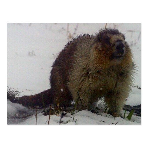 Winter Marmot Post Cards