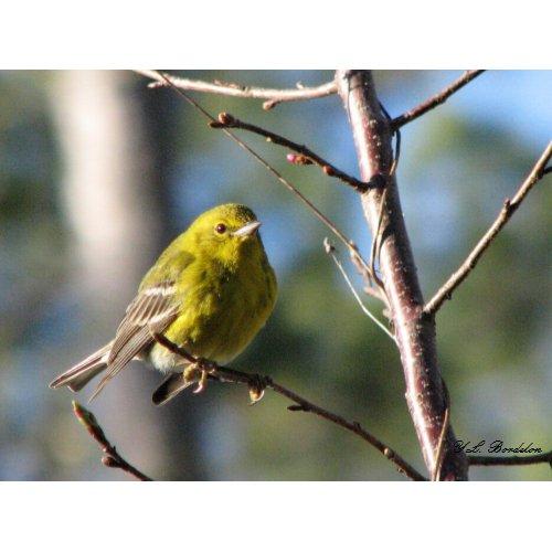 Winter Pine Warbler print