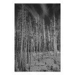Winter Pines in Yellowstone Art Photo