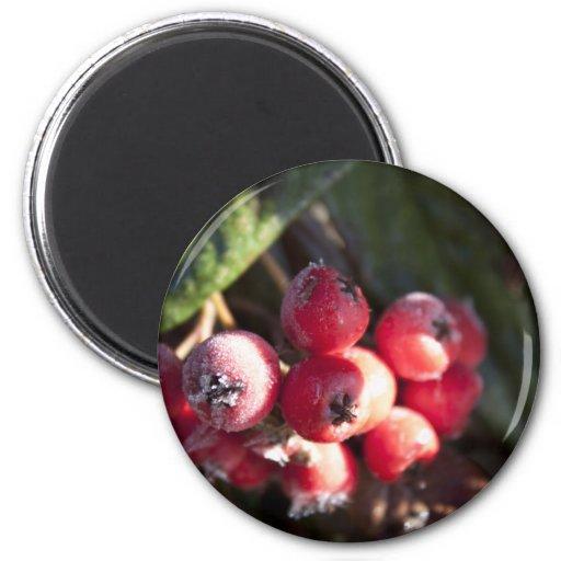 winter red berries, evergreen bush, green, 浆 果 2 inch round magnet