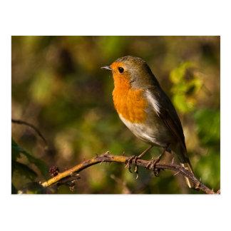 Winter Robin Postcard