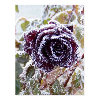Winter Rose2 Postcard