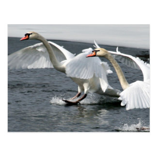 Winter Swans Landing Postcard