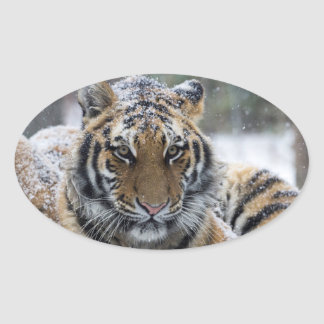 Winter Tiger Face Oval Sticker