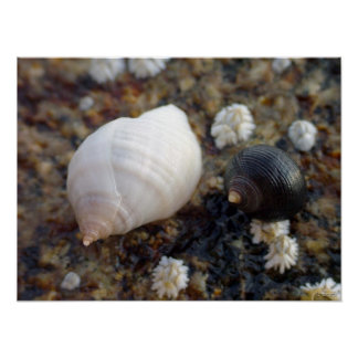 Winterhaven Seasnails Poster