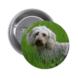 Wire-haired Standard Dachshund in Grass Button