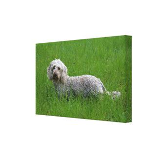 Wire-haired Standard Dachshund in Grass Canvas Print