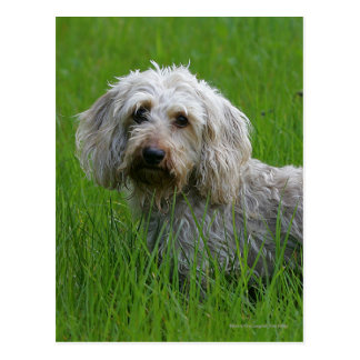 Wire-haired Standard Dachshund in Grass Postcard