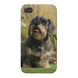 Wire-haired Standard Dachshund iPhone 4/4S Case