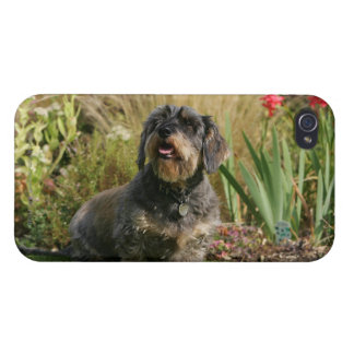 Wire-haired Standard Dachshund iPhone 4/4S Cover
