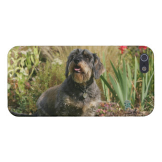 Wire-haired Standard Dachshund iPhone SE/5/5s Cover