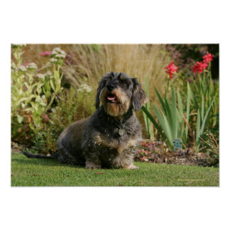 Wire-haired Standard Dachshund Poster