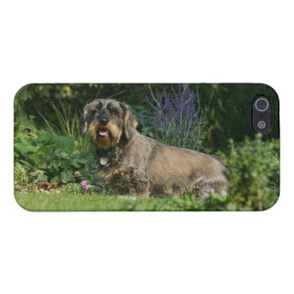 Wire-haired Standard Dachshund Sitting Case For iPhone SE/5/5s