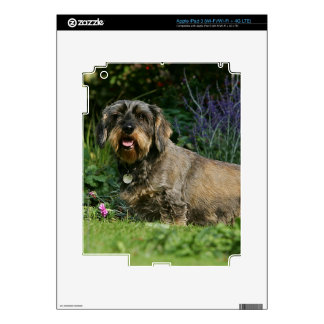 Wire-haired Standard Dachshund Sitting iPad 3 Skin