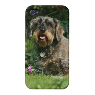 Wire-haired Standard Dachshund Sitting iPhone 4/4S Case
