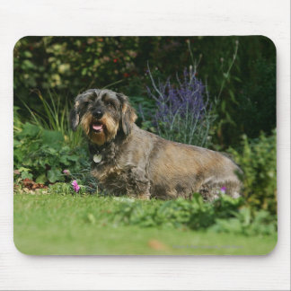 Wire-haired Standard Dachshund Sitting Mouse Pad