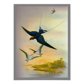 Wire-tailed Swallow Poster