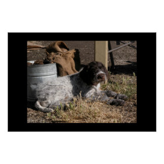 Wirehaired Pointing Griffon Puppy Poster