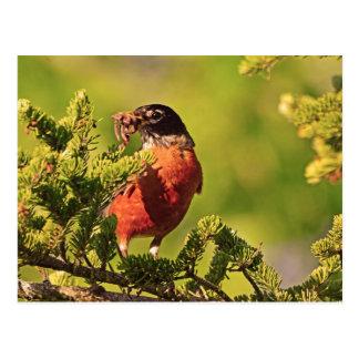 Wisconsin Robin Postcards
