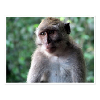 wise macaque postcard
