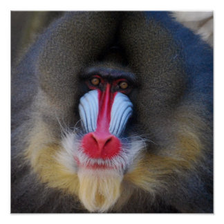 Wise Mandrill Monkey Poster