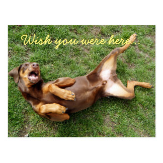 Wish You Were Here funny doberman postcard
